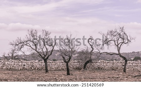 Four almond trees on red earth and with drystone wall outside Santanyi, Mallorca in October. Mallorca, Balearic islands, Spain. Vintage coloring. - stock photo