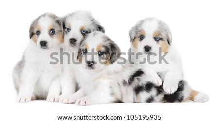Four australian shepherd dogs in studio on w haite background - stock photo