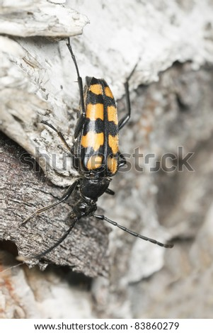 Four-banded Longhorn Beetle (Leptura quadrifasciata) on wood