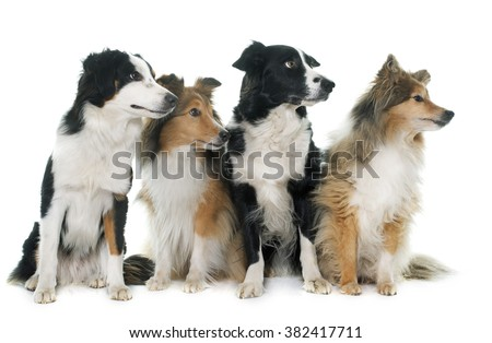 four beautiful dogs in front of white background - stock photo