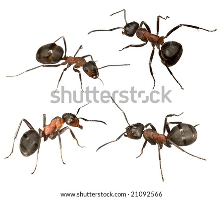 four big forest ants isolated on white background - stock photo