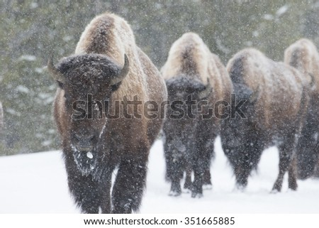 four bison walk toward the camera, obscured by dense falling snow. forest in the background. yellowstone national park. - stock photo