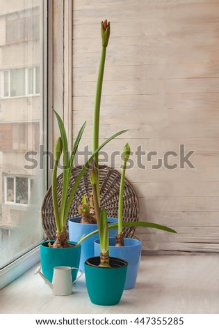 Four blue pot with Hippeastrum on the window on the background braided circle - stock photo