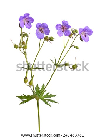 Four bright purple flowers of a Geranium or cranesbill cultivar isolated against a white background