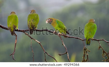Four Brown-hooded Parrots in a branch, one looking to the camera - stock photo