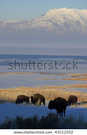 four buffalo grazing in the snow by a frozen lake beneath the mountains - stock photo