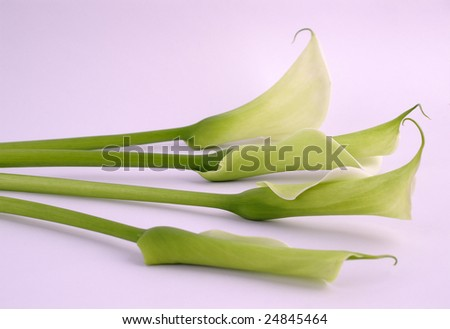 four calla lilies close-up, isolated on white background - stock photo