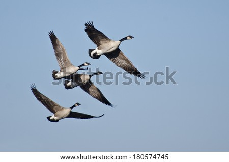 Four Canada Geese Flying in Blue Sky - stock photo