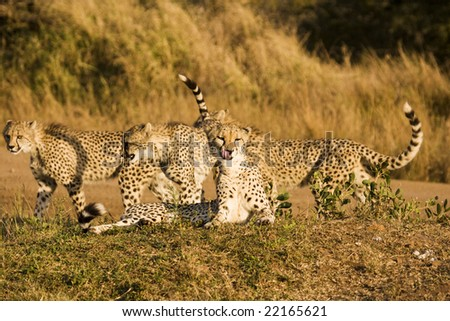 Four cheetah cubs seen playing while on safari in the Phinda Game Reserve. The cheetah (acinonyx jubatus) is a member of the cat family. It is the fastest land mammal. - stock photo