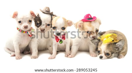 four Chihuahua puppy in funny hats - stock photo