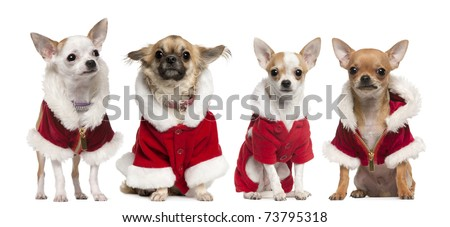 Four Chihuahuas wearing Santa Claus coats in front of white background