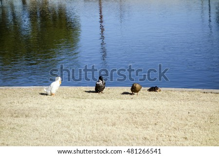 Four colorful ducks at Cortez lake in a small recreational park of North West Metro Phoenix on New Year Day