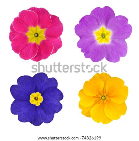 Four Colorful Primroses Flowers Isolated on White Background - stock photo