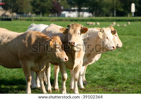 Four cows in a row