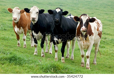 Four Cows in a Row in different Colors