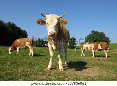 Four cows which are standing on the meadow and just one with a lot of fly around it looking at my camera. - stock photo