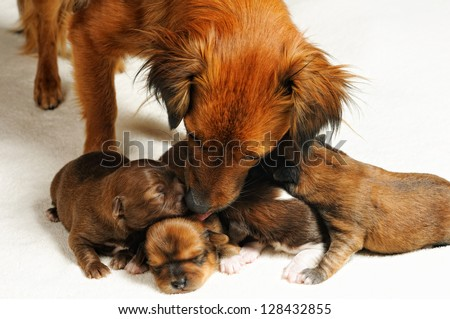 four cute blind puppies and mom over white - stock photo