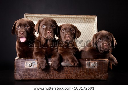 four cute chocolate puppies of Labrador Retriever amicably sitting in brown vintage leather suitcase on black background - stock photo