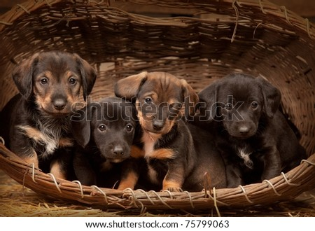 Four dachshund puppies purebred in basket. One from them winking at you - stock photo