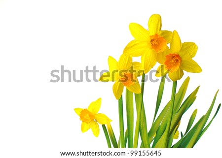 Four daffodils. White background - stock photo