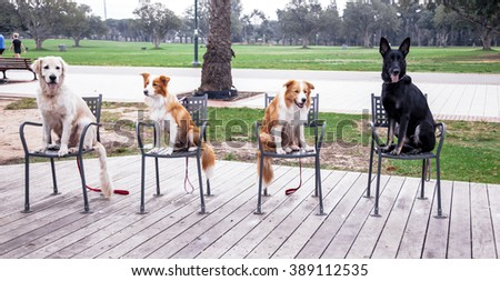 Four dogs - two Border Collies, one Golden Retriever and one German Shepherd, sitting on four chairs on the deck in the park. - stock photo