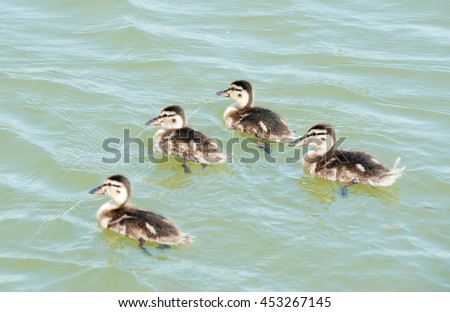 four ducklings swimming in the water - stock photo