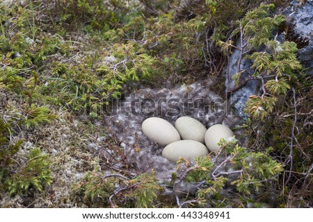 Four eggs in common eider (Somateria mollissima) nest lined with eiderdown. After the duckling have left the nest, people gather eiderdown in many places in Norway. Photographed at Norwegian coast.  - stock photo