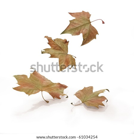 Four falling leaves on white background - stock photo