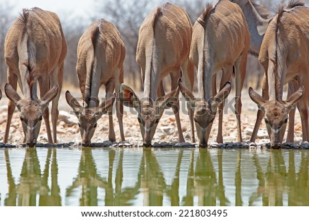 Four Female Kudu drinking from waterhole with reflection taken from camp hide - stock photo