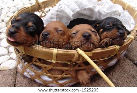 Four four weeks old pure breed miniature pinscher  puppies sleeping in a basket