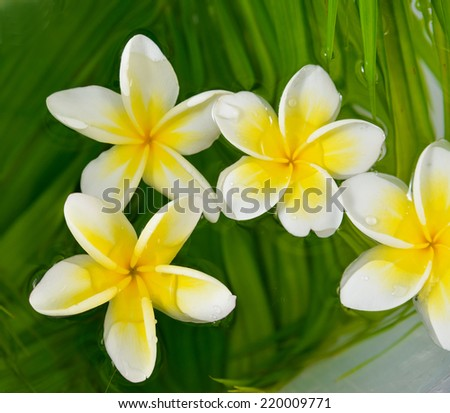 Four frangipani and wet palm leaf texture - stock photo