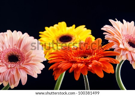 Four fresh gerber flowers on black background - stock photo