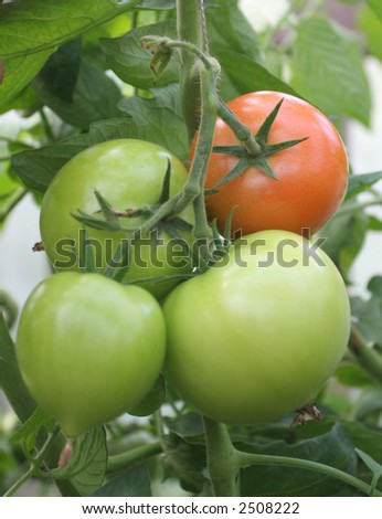 four fresh tomatoes in greenhouse (three green and one red) - stock photo