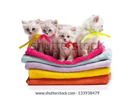 four furry grey kitten with blue eyes on multicolored towels on white background - stock photo