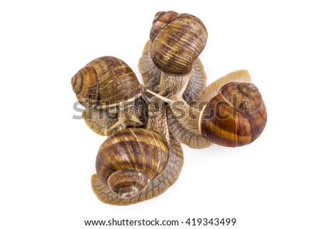 Four garden snails (Helix aspersa) isolated on white background. Mollusk. Teamwork concept - stock photo