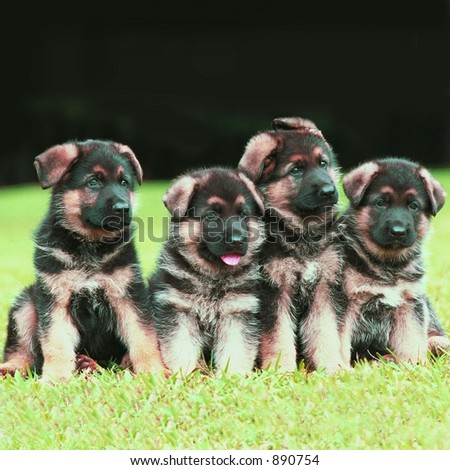 Four German Shepherd puppies posing - stock photo