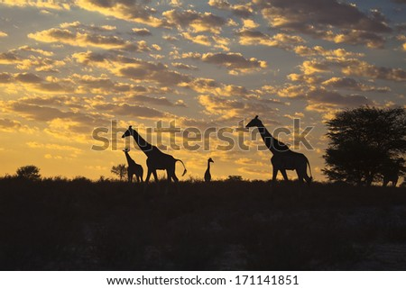 Four Giraffes (Giraffa camelopardalis) silhouetted against a sunrise cloudscape sky in the Kalahari desert, Kgalagadi transfrontier park, South Africa. - stock photo