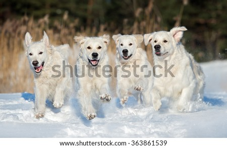 four golden retriever dogs running outdoors in winter - stock photo