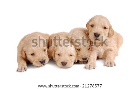 Four Golden Retriever Puppies - stock photo