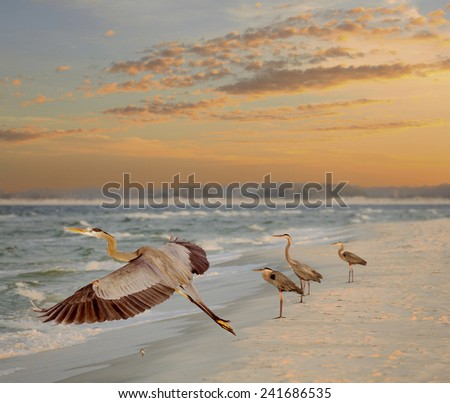Four Great Blue Herons, One Taking Off, at the Beach as the Sun Rises - stock photo