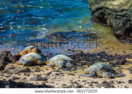 Four green sea turtles resting on the volcanic rocky beach in Hawaii