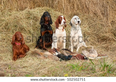 Four gun dog resting after the hunt beside a shotguns and pheasants in front of a hay, horizontal - stock photo