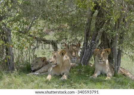 Four juvenile lions (Panthera leo) liyng down in the shade of an acacia tree during daytime, Serengeti national park, Tanzania. - stock photo