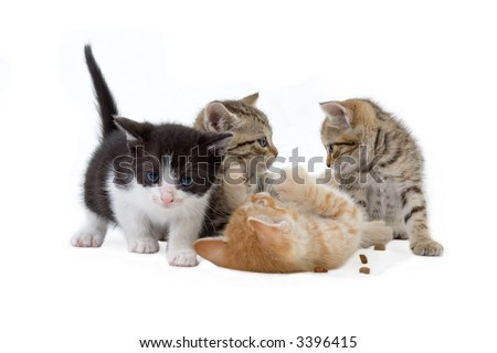 four kitten brothers (5 weeks) playing  in front of a white background