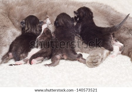 Four kittens at the breast of mother of cat - stock photo