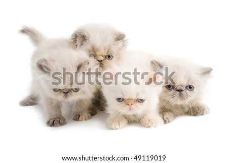 Four kittens Persian breed is isolated on white  background. Not isolated.