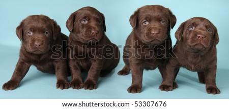 Four labrador retriever puppies studio shot on a blue background. - stock photo