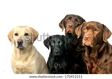 four Labrador retrievers - stock photo
