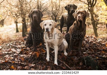 four labradors - stock photo