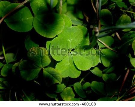 Four Leaf Clover - stock photo